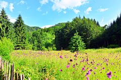 Morning mountain view, meadow with flowers royalty free stock image