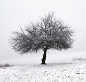 Lonely tree in fresh snow early winter stock photos