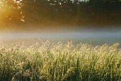 Morning Myst. Tall grass covered in dew with the morning sunshine causing fog Royalty Free Stock Photo
