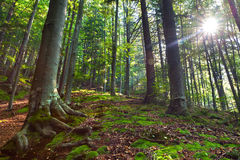 morning in mystical woods stock photo