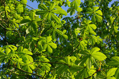 A morning in nature 8. Young leaves in the morning sun Stock Image