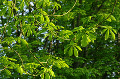 A morning in nature 9. Young chestnut leaves in the morning sun royalty free stock photos