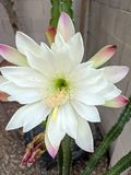 Morning of Night blooming Cereus Royalty Free Stock Image