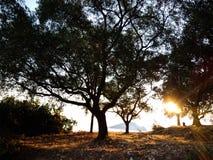 Sunrise and olive trees stock photo