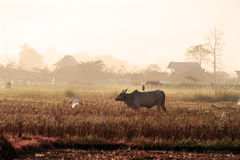 Morning at paddy field Stock Photography