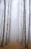 Morning pathway in deeply mist autumn birch park. In November Royalty Free Stock Photo