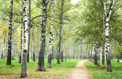 Morning pathway in mist autumn birch park Royalty Free Stock Photo