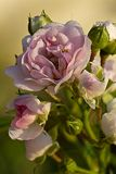 The morning. Photo of rose in morning with dew Stock Images