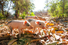 Morning piglets Royalty Free Stock Image