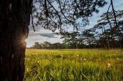 Morning Pine Stock Image