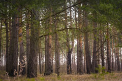 Morning Pine Forest Stock Images