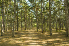 Morning in a pine forest. green grass. Sun`s rays make their way through the trunks of trees in a pine forest Stock Photo