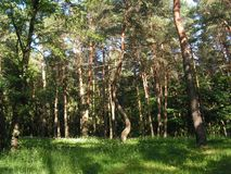 Morning in a pine forest. Pine forest in the slanting rays of the sun. Belarus. Summer forest stock photos