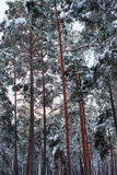 Morning in a pine forest Stock Photo