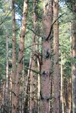 Morning in the pine forest. Spring awakening squirrels in a pine forest in the suburbs of Kaliningrad royalty free stock image