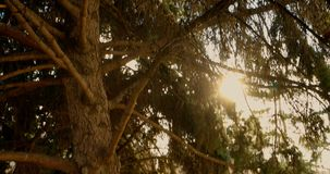 Morning in a pine forest stock footage