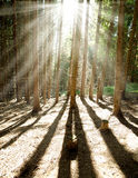 Morning pine forest in sun shining rays Royalty Free Stock Photo