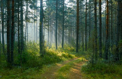 Morning in pine wood. The rural road which is passing on pine wood Royalty Free Stock Image