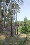 Morning in the pine wood in the summer Royalty Free Stock Photo