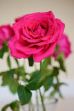 Morning pink Rose Stock Photos