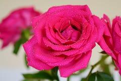Morning pink Rose Stock Images