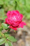 Morning pink Rose Stock Image