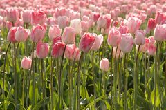 Morning Pink Tulips Stock Photos