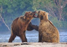 Brown bear cubs playing on a beautiful morning. Morning play for two bear cubs, shot in Lake Kuril in south Kamchatka Royalty Free Stock Image