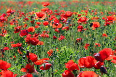 Morning on poppies flower meadow Stock Images
