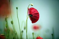 Morning Poppy Flower stock photos