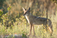 Morning Pose. Coyote posing in moring light with wildflowers Stock Image
