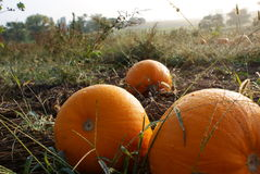 Morning Pumpkin Field Stock Images