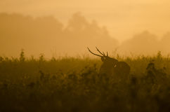 Morning rain forest ,hog deer Royalty Free Stock Photo