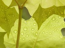 Morning raindrops on a maple leaf Royalty Free Stock Photo