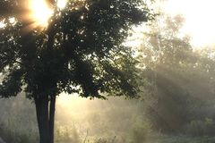 Morning Rays Through an Elm. The early morning sunshine, a majestic elm tree with the rays shining through it Stock Image
