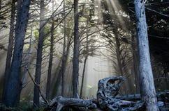 Morning rays through a forest. Sun`s rays shining through trees at Rialto Beach, Olympic National Park, Washington, USA Stock Image