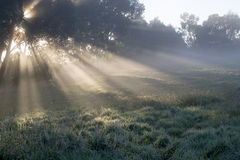 Morning rays. Rays of sunlight filter through gum trees to light the morning mist Stock Image