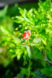 Rose with dew drops. Morning red rose with dew drops Stock Photography
