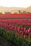 Morning in the Red Tulips Field Royalty Free Stock Image
