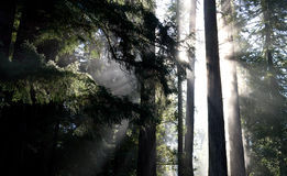 Morning in redwood forest. A foggy morning in dark redwood forest Stock Photography