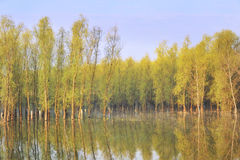 Morning  reflexion. Of trees in summer time Stock Images
