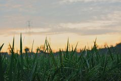 morning in Rice fields Royalty Free Stock Photography