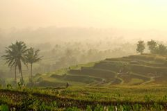 Morning in the rice fields stock photo