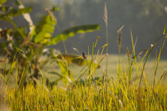 Morning at rice paddy in Ubud, Bali Stock Photos
