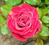 The morning rose with dew drops. In the autumn Royalty Free Stock Photography