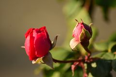 Morning rose with dusky shades Royalty Free Stock Photography
