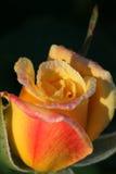 Morning Rose Royalty Free Stock Photos