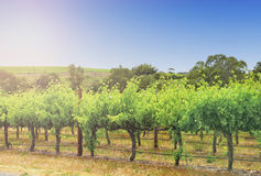 Morning rows of grapevines Royalty Free Stock Photo