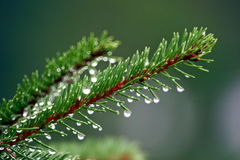 Morning's Dew. Hanging from a pine branch stock photo