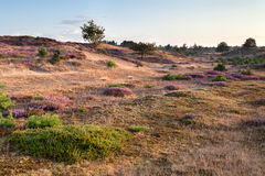 Morning on sand dunes with flowering heather Stock Photography